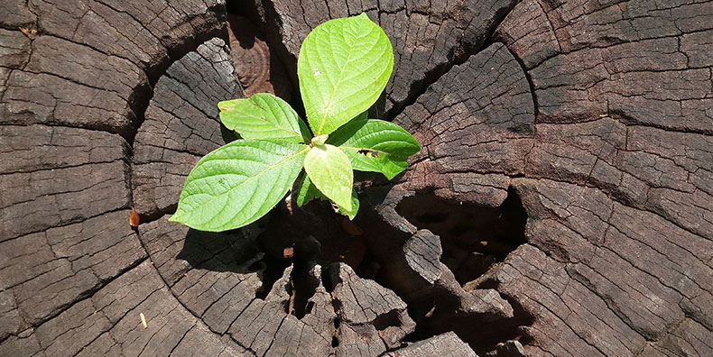 A small plant sprouts through a crack in the middle of a tree stump.